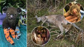 Ohořelí klokani a koalové dojali Čechy. Na pomoc jim poslali statisíce korun.