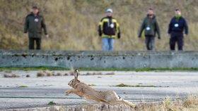 Myslivci vyhnali z areálu jaderné elektrárny Temelín 21 zajíců
