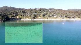 Plavce u novozélandských břehů překvapily stovky žraloků. Predátoři se sem připlouvají pářit.