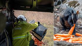Australské úřady začaly přikrmovat klokany.