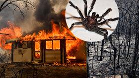Další rána pro Austrálii? Po požárech a záplavách vědci varují před jedovatými pavouky.