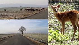 Jeleni sika jsou druhem, který byl do Čech zavlečen z Japonska. U nás se jim daří, jak dokazuje i video řidiče, který zachytil obří stádo na Plzeňsku