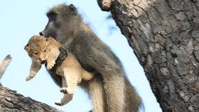 Jako ve Lvím králi: Pavián vynesl na strom mládě lva (4. 2. 2020)