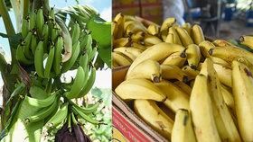 Zákeřná panamská nemoc postihla banánovou farmu v Austrálii.
