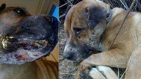 Hector ke zraněním mohl přijít při ilegálních psích zápasech.