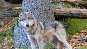 Vlk obecný. Tenhle žije v Srní ve výběhu národního parku.