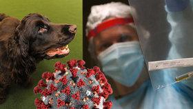 Psi by mohli podle expertů pomáhat odhalit nakažené. Koronavirus se dá vyčenichat