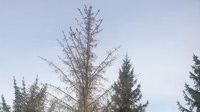 Dopady sucha na smrkový porost v Doksanech