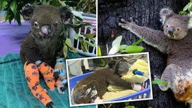 Koalům v největším australském státě hrozí vyhynutí