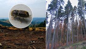 Koronavirus komplikuje lesníkům boj s kůrovcem.