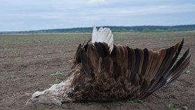 Mrtvého samce orla mořského našel na poli u Bzence Martin Hrouzek.
