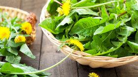 Pampeliška patří mezi jarní byliny.