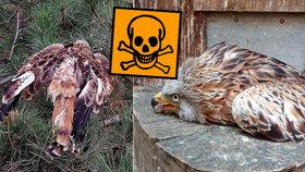 Otravy dravců karbofuranem jsou stále velký problém.