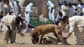Nechutné psí zápasy bohužel v mnoha částech světa stále probíhají.