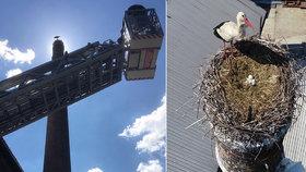 Záchranná akce na Nymbursku: Mláďata čápa museli sundat z hnízda hasiči.