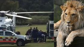 Ošetřovatelka ze zoo skončila v kritickém stavu: Brutálně ji napadli lvi.