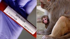 Opice v Indii ukradly vzorky krve nakažených koronavirem, místní se bojí dalšího rozšíření nemoci.