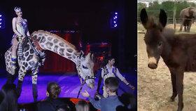 Z maďarského cirkusu se stalo safari, majitel tak zabránil zavření podniku.