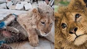 Neuvěřitelné týrání zvířat: Mučitelé zlomili nohy lvíčeti, aby nemohlo utéct z fotografií