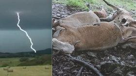 Výboj zabil stádo krav: Majiteli zbyly jen oči pro pláč a statisícová škoda.