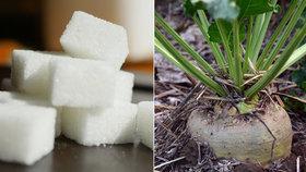 Cukr zdražil, pěstitelé cukrové řepy to oceňují.