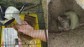 Žena do lesa odnesla potkana. Syn zvíře prý už nechtěl.