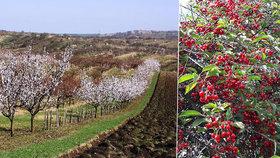 Sklizeň ovoce v Česku bude opět slabá, mohou za to jarní mrazy.