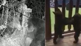 Souboj šelem v přímém přenosu: Dva medvědi bojovali o teritorium, medvíďata se poprala zas na verandě domu.