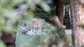 Tragédie v zoo v Curychu: Tygřice zabila ošetřovatelku (4. 7. 2020).
