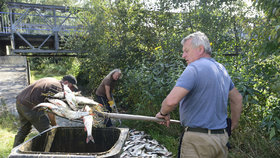Odklízení mrtvých ryb v řece Bečvě (21.9.2020)