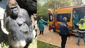 Chovatelku brutálně zřídila gorila, byla převezena s četnými zlomeninami do nemocnice.