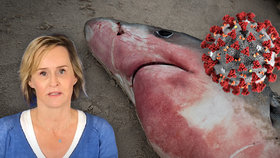 Přes půl milionu žraloků by mohlo zemřít kvůli honbě za vakcínou proti koronaviru, varují experti.