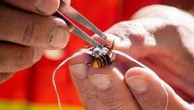 Entomologové připoutali k sršním sledovací zařízení, pomocí kterého vypátrali jejich hnízdo.