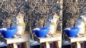 Roztomilá veverka se ztřískala zkvašenými hruškami.