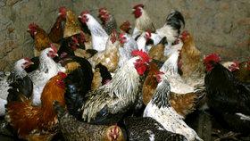 Šíření ptačí chřipky ve světě (ilustrační foto)