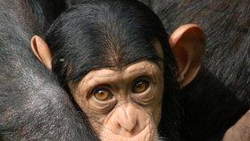 Šimpanzi jsou velice inteligentní zvířata.