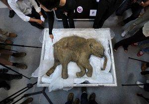 Permafrost na Sibiři skrývá poklady. V roce 2007 zde například vědci našli perfektně zachovalé mládě mamuta