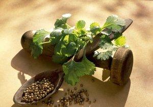 Koriandr, který se pěstuje již několik tisíc let jako léčivé koření, je dodnes v lidovém léčitelství velmi používaný.