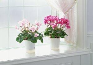 I když působí nevinně, i oblíbený brambořík patří mezi jedovaté květiny.