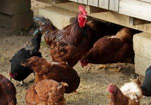 Ženu (†76) při sběru vajec zabil kohout! Proklovl jí křečovou žílu.