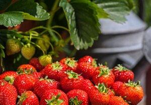 Pěstování jahod není žádná věda, pozor si dejte na přelití a nedostatek živin.