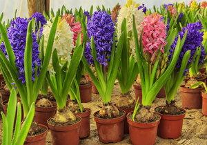 Hyacint bude na záhonu dělat parádu několik let.