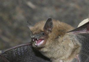 Do bytu Brňanky (87) v Žabovřeskách náhle vtrhlo padesátihlavé hejno netopýrů.