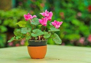 Bramboříky zalévejte vždy jen do misky pod květináčem, jinak by hlíza mohla zařít plesnivět.