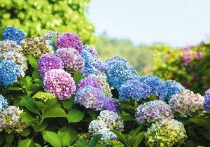 Tyhle krásky v ledových barvách jsou ozdobou každé zahrady.
