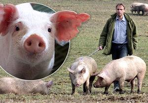 Čeští chovatelé prodávají vepřové pod cenou a bojí se zavírání chovů.