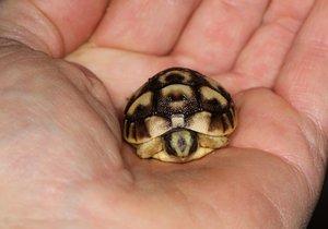 V ruce vypadá želva tuniská miniaturně. (fotografie z roku 2016)