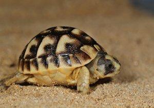 Pražská zoo chová 43 želvích druhů a poddruhů, v rámci Světového dne želv se pochlubí novými přírůstky.