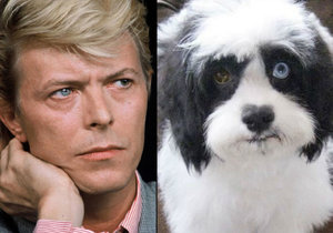 Pejsek Max má stejné oči jako jeho páníček David Bowie.