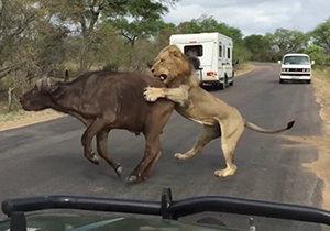 Smečka lvů ulovila buvola přímo před vyděšenými turisty
